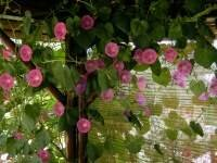 wie wachsen meine kletterrosen am sch nsten richtige pflege von kletterpflanzen. Black Bedroom Furniture Sets. Home Design Ideas